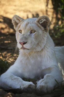 Photograph - White Lion  by Saija  Lehtonen