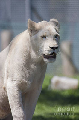 Photograph - White Lion by Steven Ralser