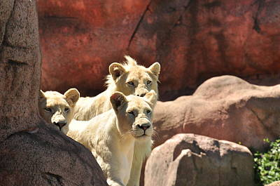 Photograph - White Lions  by Puzzles Shum