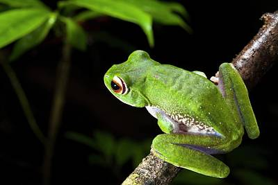 Frog Photograph - White-lipped Bright-eyed Frog by Alex Hyde