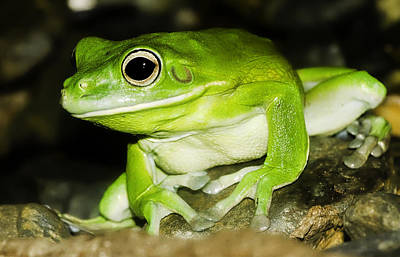 Close Photograph - White-lipped Tree Frog by Mr Bennett Kent