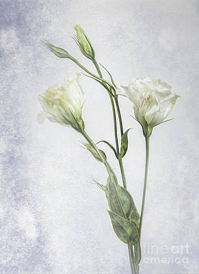Photograph - White Lisianthus Flowers by Shirley Mangini