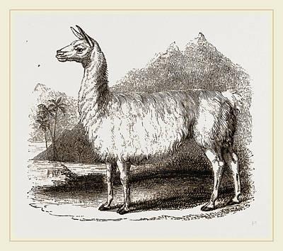Llama Drawing - White Llama by Litz Collection