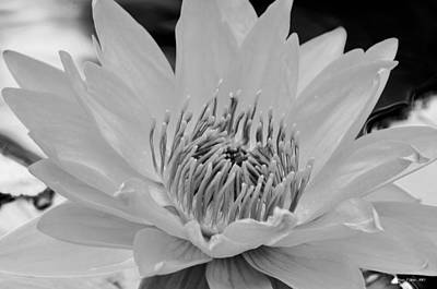 Photograph - White Lotus 2 Bw by Maria Urso