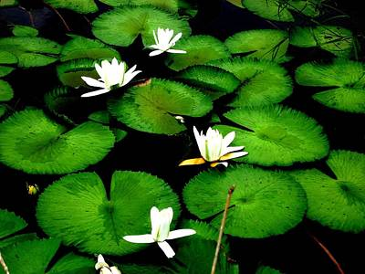 Vitamin-containing Photograph - White Lotus by Ali Mohamad
