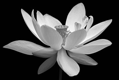 Photograph - White Lotus by Dawn Currie