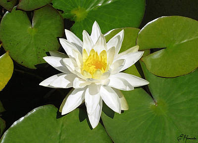 White Lotus 1 Art Print
