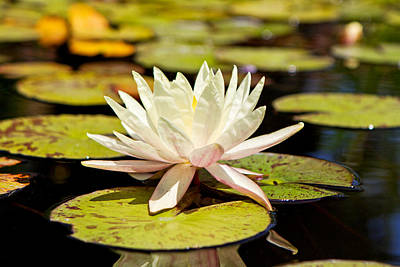 White Lotus Flower In Lily Pond Art Print by Susan Schmitz
