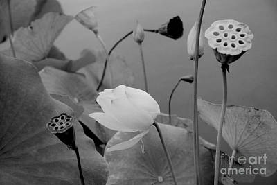 White Lotus Flowers In Balboa Park San Diego Art Print by Julia Hiebaum