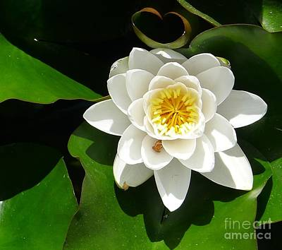 White Lotus Heart Leaf  Art Print