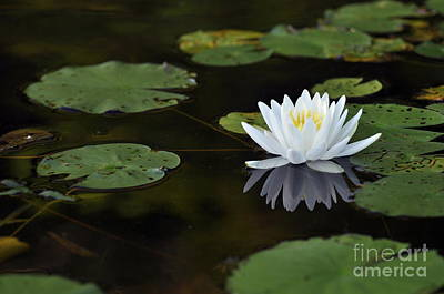 Print featuring the photograph White Lotus Lily Flower And Lily Pad by Glenn Gordon
