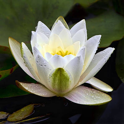 Waterlilies Photograph - White Lotus by Marcia Colelli