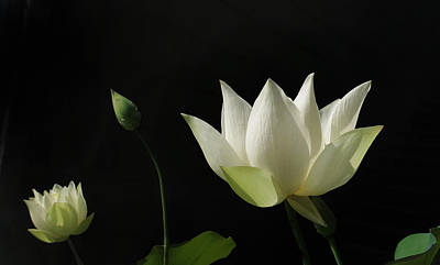 Photograph - White Lotus Profile by Deborah Smith