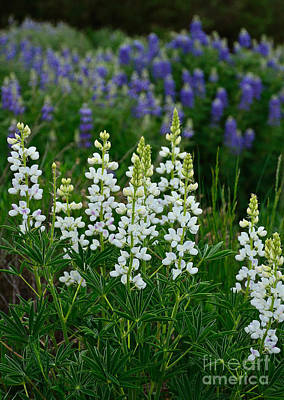 Photograph - White Lupine by Kelly Black
