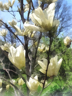 Photograph - White Magnolia Branches by Susan Savad