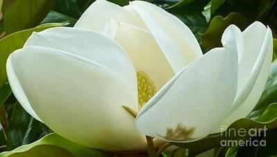 Photograph - White Magnolia Elegance by Susan Garren