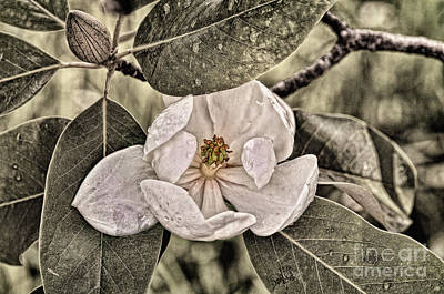 Sweet Digital Art - White Magnolia by Lois Bryan