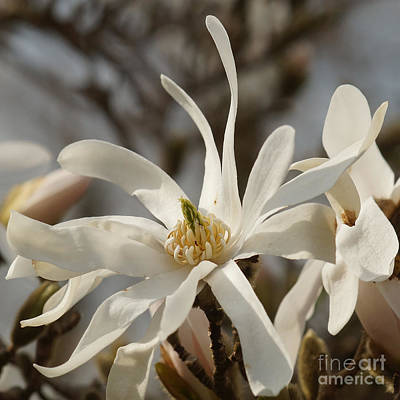 Photograph - White Magnolia 2 by Rudi Prott