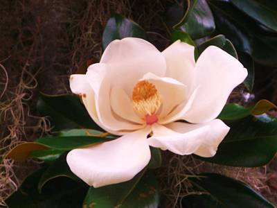 Art Print featuring the photograph White Magnolia by Yolanda Rodriguez