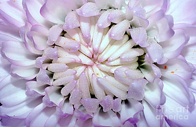 Photograph - White Mauve Miniature Dahlia - Close Up by Kaye Menner