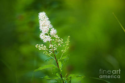 Rosaceae Photograph - White Meadowsweet by Linda Freshwaters Arndt