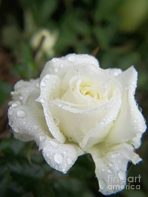Photograph - White Mini Rose With Raindrops by Sue Andrus