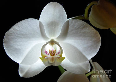 White Moon Orchid Art Print
