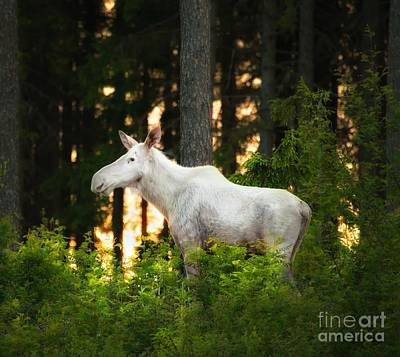 Art Print featuring the photograph White Moose In Sunset by Rose-Maries Pictures