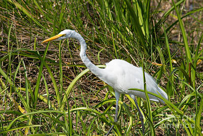 1-war Is Hell Royalty Free Images - White  Morph Great Blue Heron Royalty-Free Image by Carol Ailles