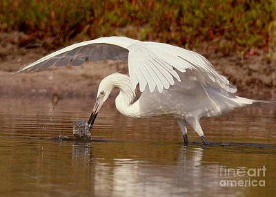 White Morph Of The Reddish Egret Art Print