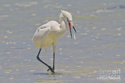 Photograph - White Morph Reddish Egret Fish Toss by Barbara Bowen