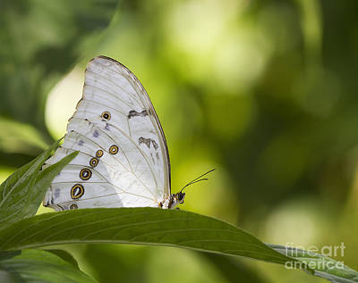 Greek Insects Photograph - White Morpho   by Anne Rodkin