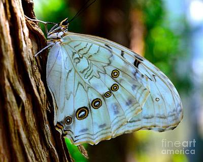 Photograph - White Morpho Butterfly by AnnaJo Vahle