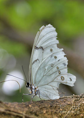 Photograph - White Morpho Butterfly by Olga Hamilton