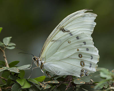Photograph - White Morpho Butterfly by Sean Allen
