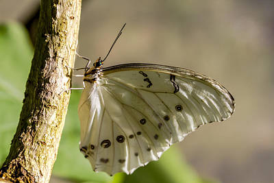 Photograph - White Morpho Butterfly by Teri Virbickis
