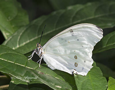 Photograph - White Morpho by Mike Fitzgerald