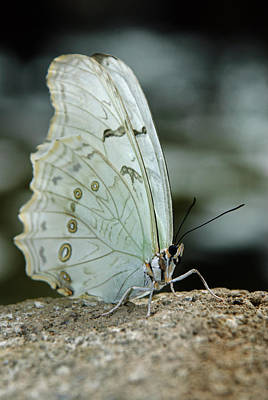 Photograph - White Morpho by Tam Ryan