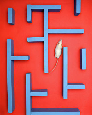 Mice Photograph - White Mouse In A Maze by Vintage Images