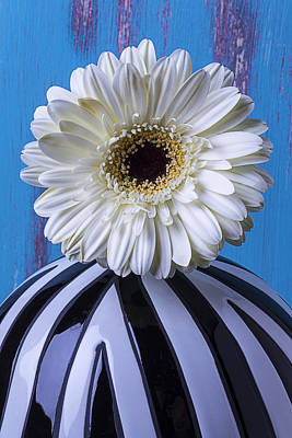 Gerbera Daisy Photograph - White Mum In Striped Vase by Garry Gay
