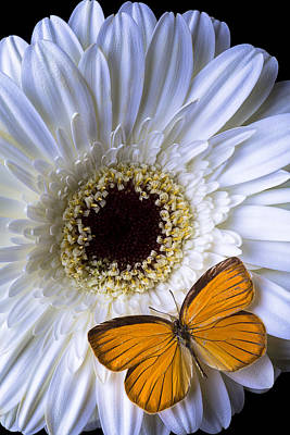 Gerbera Daisy Photograph - White Mum With Orange Butterfly by Garry Gay