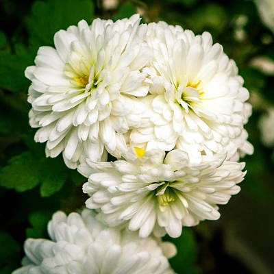 Photograph - White Mums by Melinda Ledsome