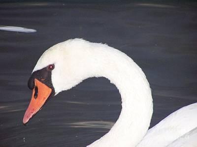 David Gray Photograph - White Mute Swan by David Gray