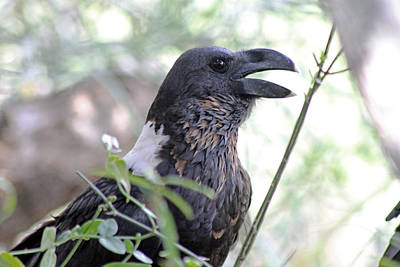Photograph - White Naped Raven by Tony Murtagh