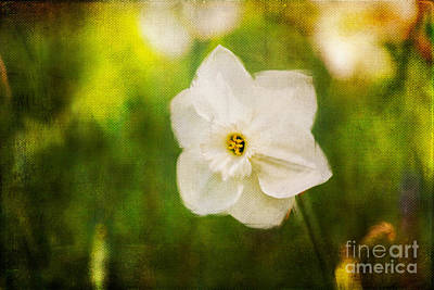 Digitally Created Photograph - White Narcissus by Katka Pruskova