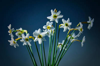 White Narcissus On A Dark Blue Background Art Print