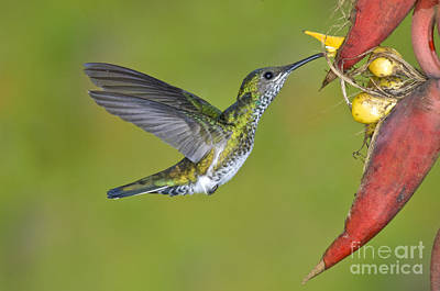Nectaring Bird Photograph - White-necked Jacobin by Anthony Mercieca