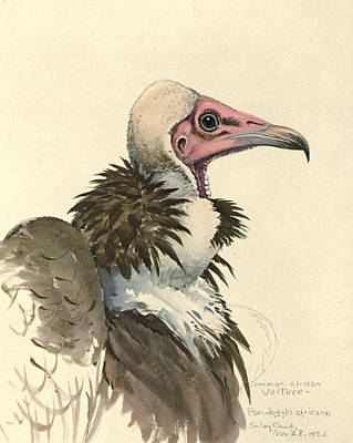 African Wild Birds Painting - White Necked Vulture by Rob Dreyer