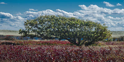 Photograph - White Oak In Chilmark by Steve Myrick
