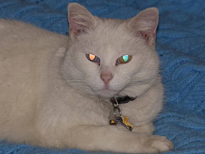 Photograph - White Odd Eyed Cat by Thomas Samida